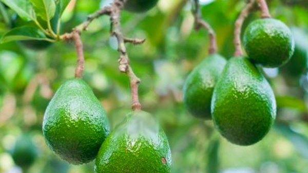 aguacatearbol