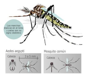 aedes manchas