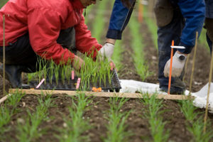 "Students plant genetically mutated wheat seedlings on a testing ground near the research institute Reckenholz of the University of Zurich in Zurich, Switzerland, pictured on April 25, 2008. Researchers and scientists of the University of Zurich, the Federal Institute of Technology Zurich and the research institute Agroscope Reckenholz-Taenikon (ART) analyze and determine the benefits and risks of genetically mutated, fungal-resistent wheat in a combined field trial. The trial is part of the National Research Program NRP 59 ""Benefits and Risks of the Deliberate Release of Genetically Modified Plants"", authorized by the Federal Department for the Environment (FOEN) and implemented by the Swiss National Science Foundation. (KEYSTONE/Gaetan Bally) Studenten pflanzen am 25. April 2008 auf einem Versuchsfeld in der Naehe der Forschungsanstalt Reckenholz der Universitaet Zuerich in Zuerich, Schweiz, gentechnisch veraenderte Weizensetzlinge. Forscher der Universitaet Zuerich, der ETH Zuerich und der Forschungsanstalt Agroscope Reckenholz-Taenikon (ART) untersuchen in einem gemeinsamen Feldversuch die Nutzen und Risiken von gentechnisch veraendertem pilzresistentem Weizen. Der Versuch wurde vom Bundesamt fuer Umwelt definitiv bewilligt und ist Teil des Nationalen Forschungsprogramm 59 ""Nutzen und Risiken der Freisetzung gentechnisch veraenderter Pflanzen"", welches der Schweizerische Nationalfonds im Auftrag des Bundesrates durchfuehrt. (KEYSTONE/Gaetan Bally)"